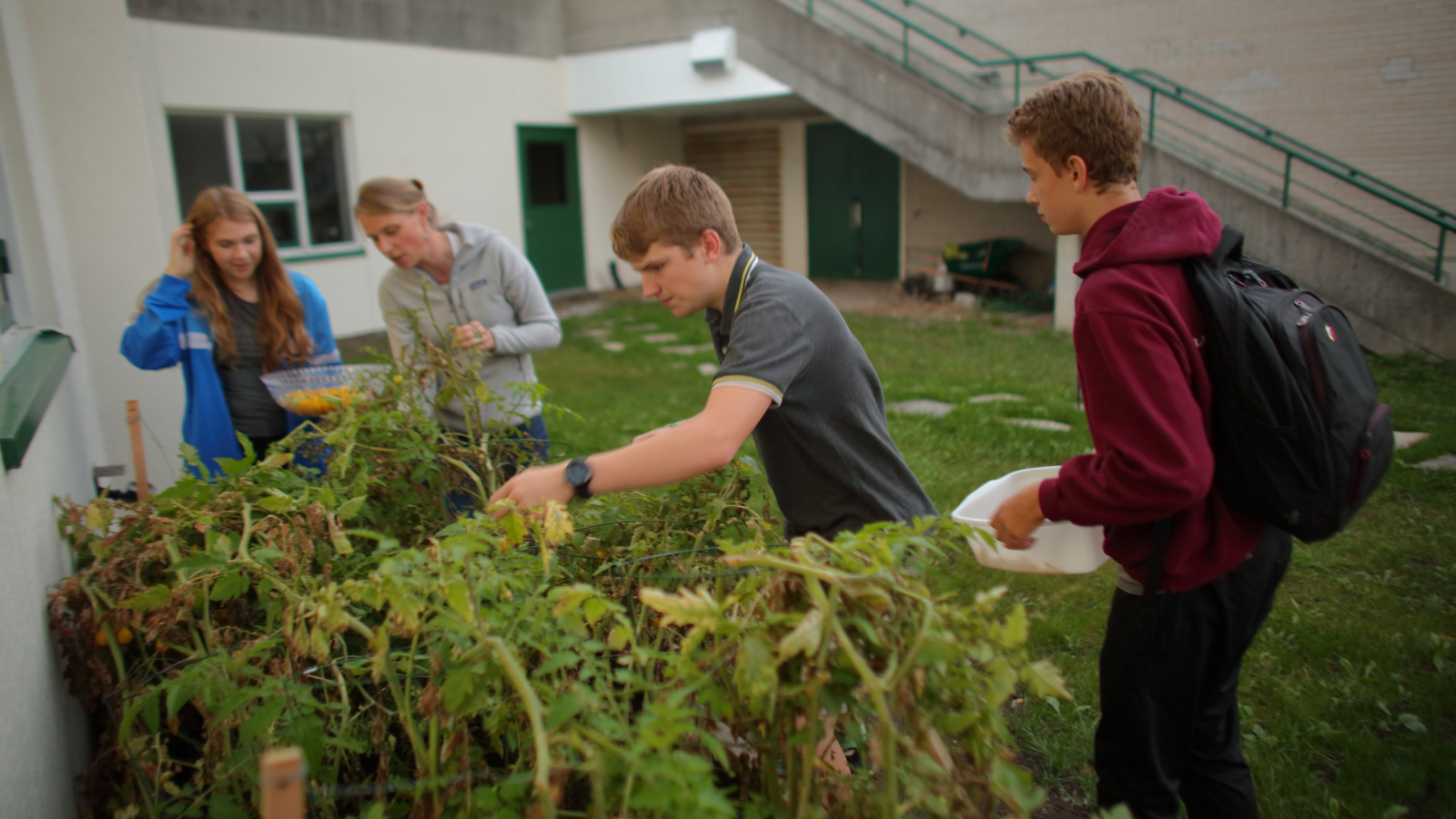Three students and a teacher lean over a raised garden bed to collect tomatoes.